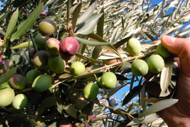 Olivenölseminar mit viergängigem Gabelmenü